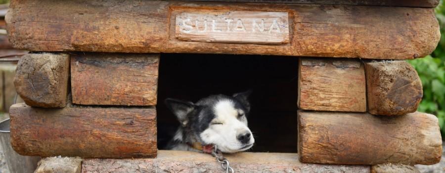 husky-dog