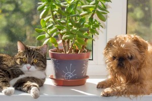 Jade plants are toxic to pets and should not be left within their reach.